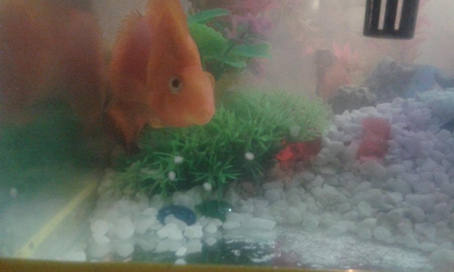 Aninimal Book: Our Blood Parrot Fish Laid Eggs | My Aquarium Club