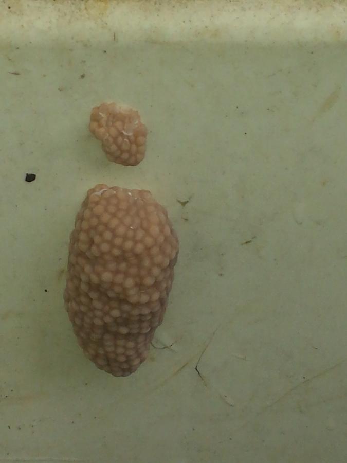 Apple Snail Eggs   My Aquarium Club