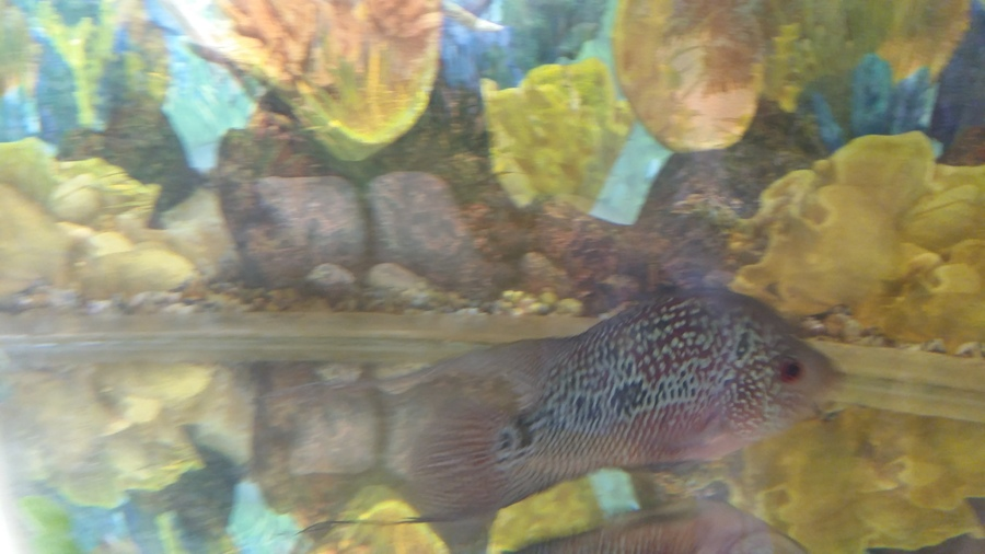 I Have A 8 Months Flowerhorn I'm Feeding Him Humpy Head ...