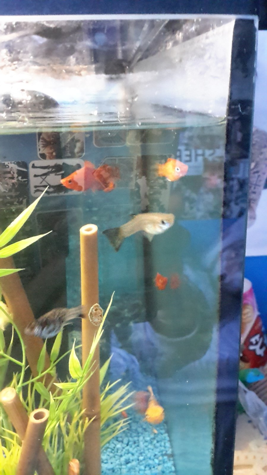 When do male guppy fry get their colors my aquarium club it could just be the blood line of the ones you buy mine could be from a healthier blood line it is a shame that you have problems with yours when nvjuhfo Choice Image