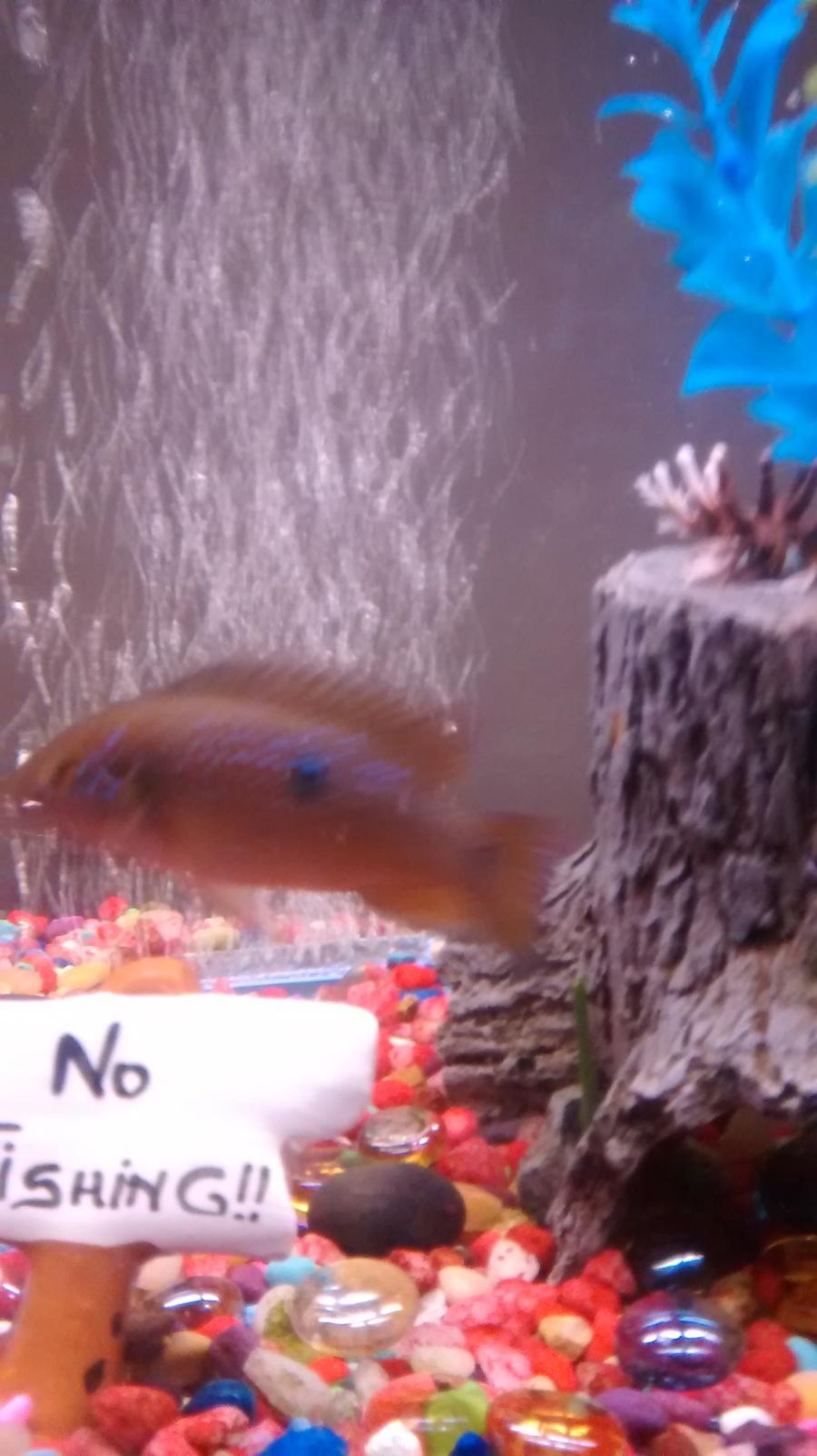 Comet Goldfish Turning Black | My Aquarium Club
