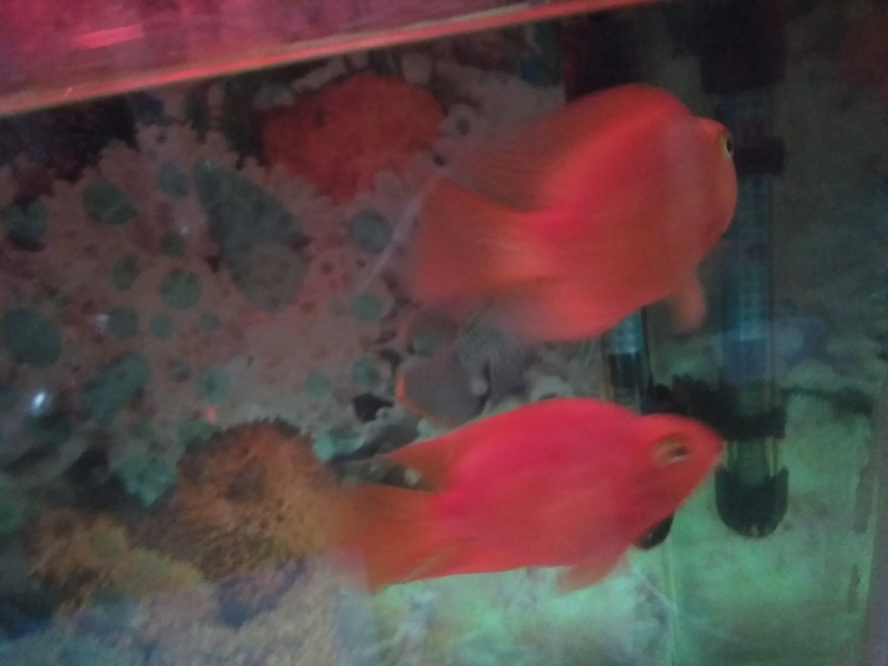Hiw To Find Male N Female Parrot Fish I Am Not Able To Recognize Can ...