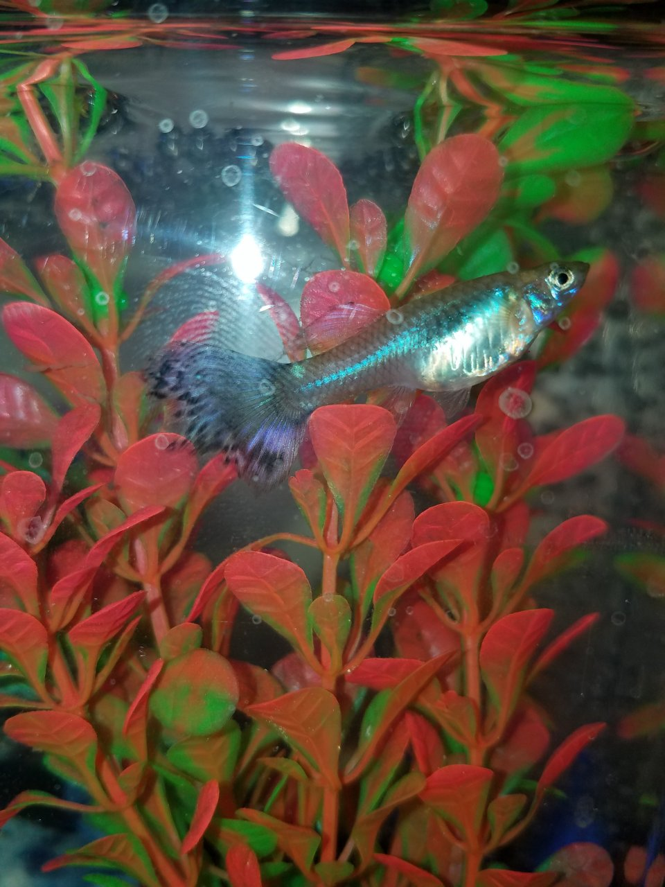 I Cant See My Guppies Gravid Spot... But She Is Fat. | My Aquarium Club
