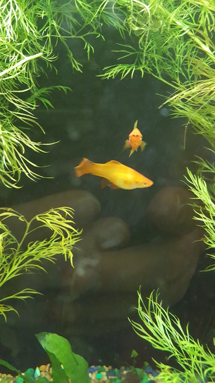 Hi! I Really Want To Keep Some Goldfish With Some Neon Tetras, But ...
