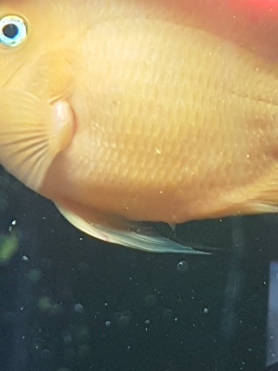 Is My Parrot Fish Male Or Female  My Aquarium Club-6727