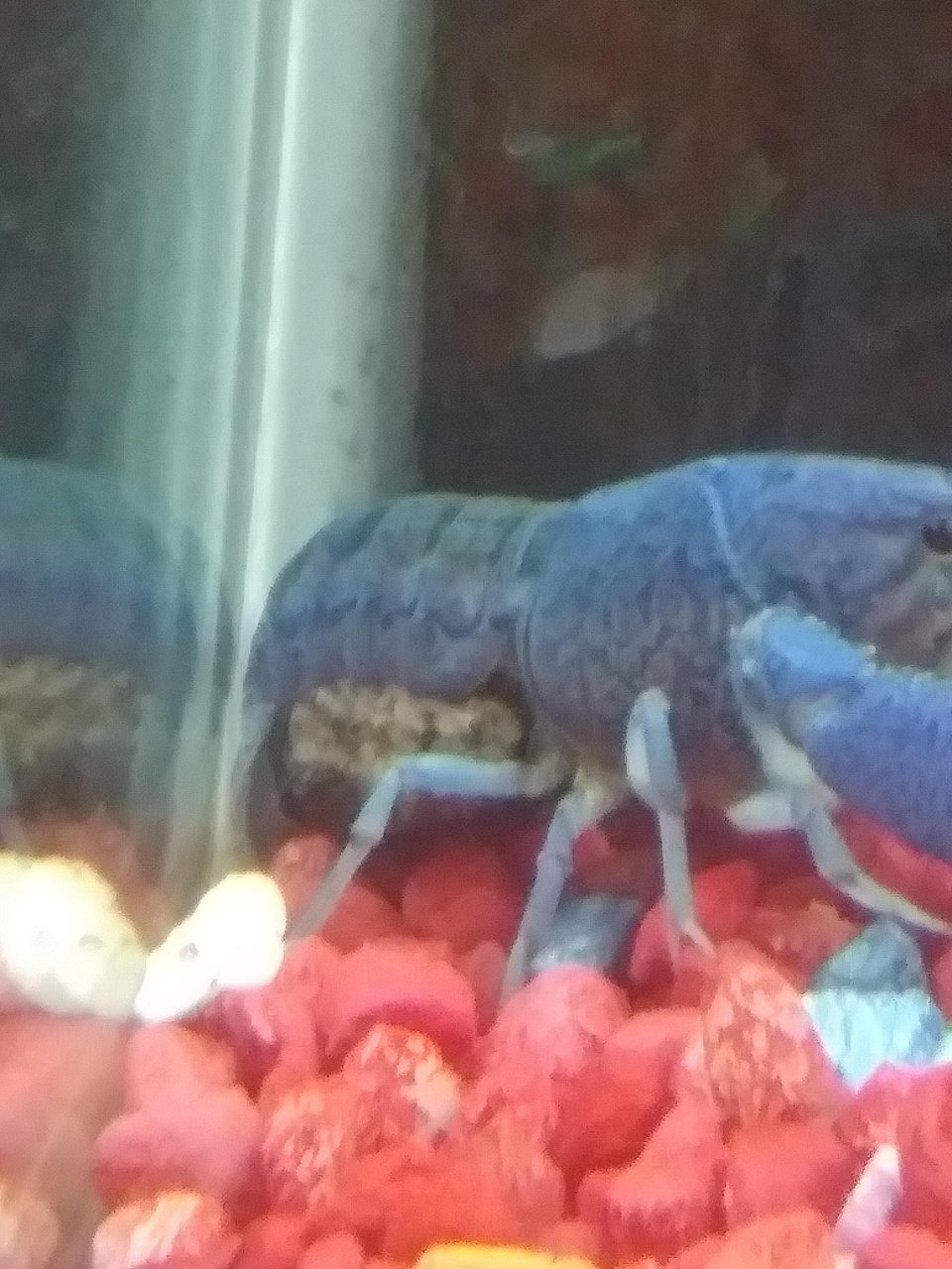 How Do I Tell If My Electric Blue Crayfish's Eggs Have Been