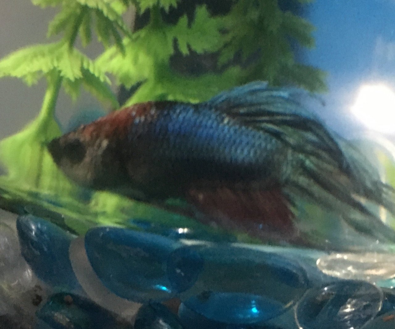 My Betta Fish Has Developed White Looking Scales Around His Face ...