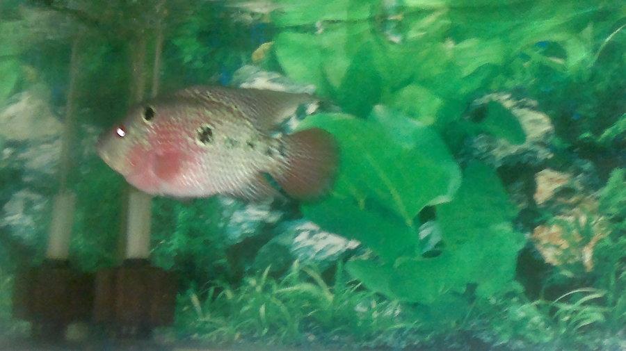 Sådan Fortæl Hvis Dens en mandlig eller kvindelig Flowerhorn Fish Ans-2755