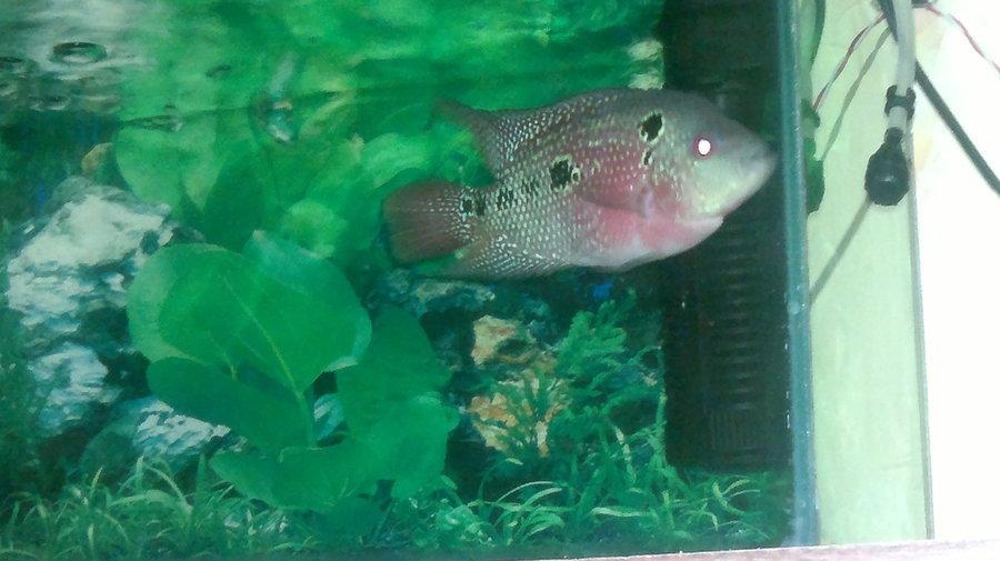 Sådan Fortæl Hvis Dens en mandlig eller kvindelig Flowerhorn Fish Ans-8220