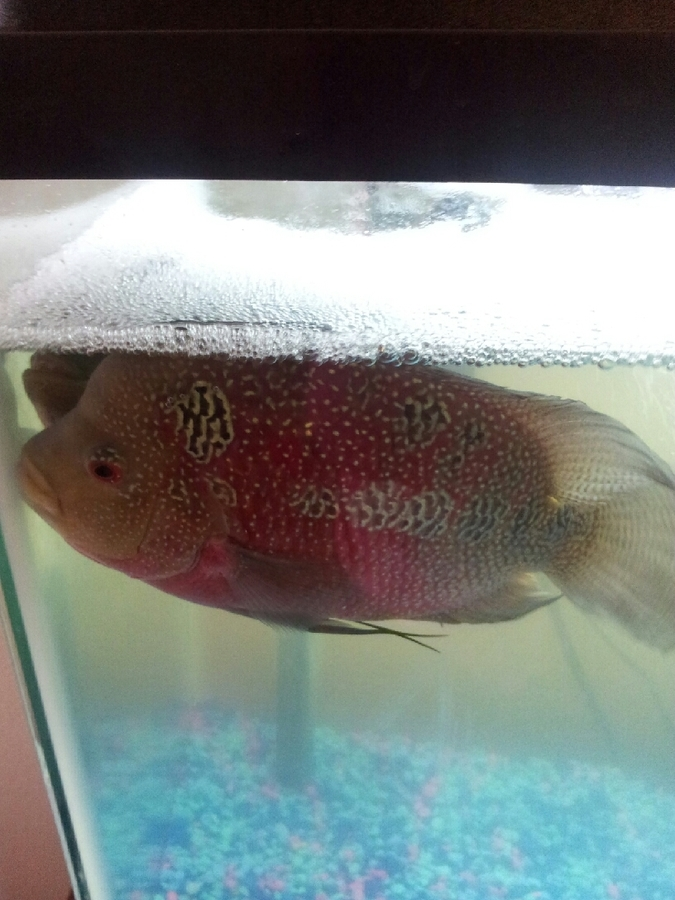 MY Flowerhorn Fish Is Staying On The Top Of The Tank | My Aquarium Club
