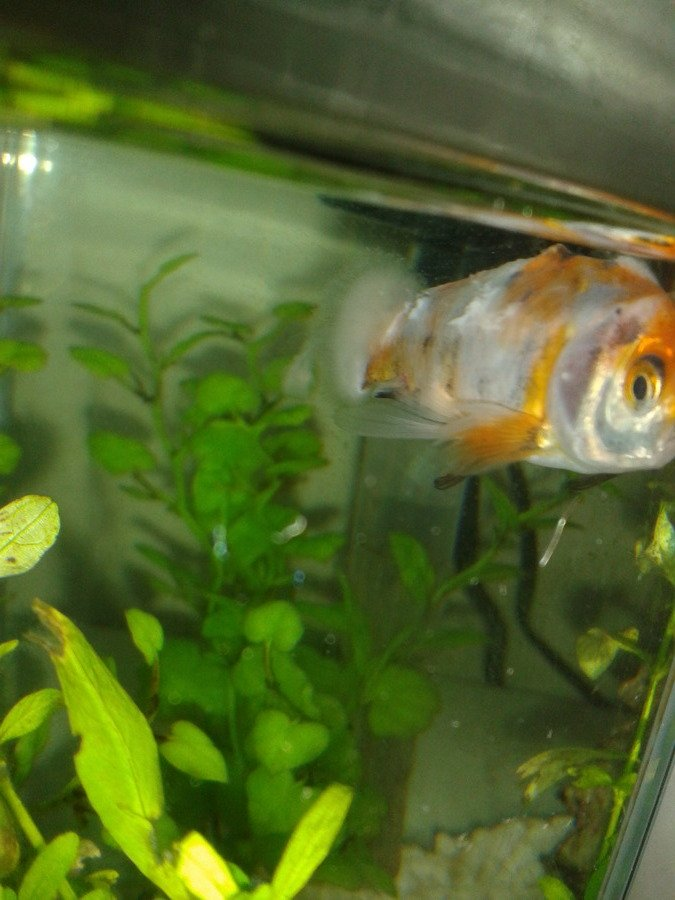I Have A White Fluffy Algae ( I Think) Growing On Plants In My Tank And On ... | My Aquarium Club