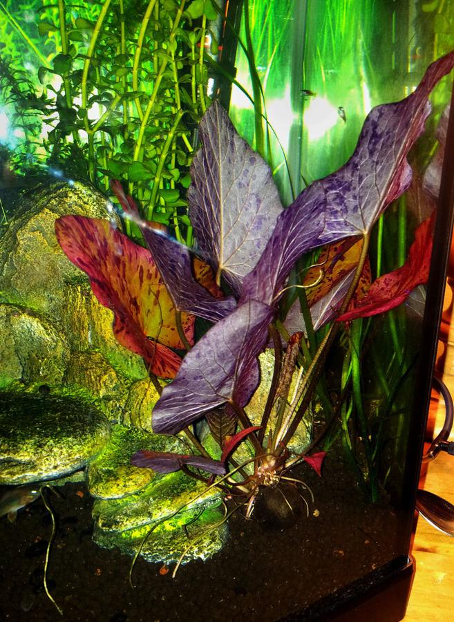 Red Tiger Lotus Bulb Pictures My Aquarium Club