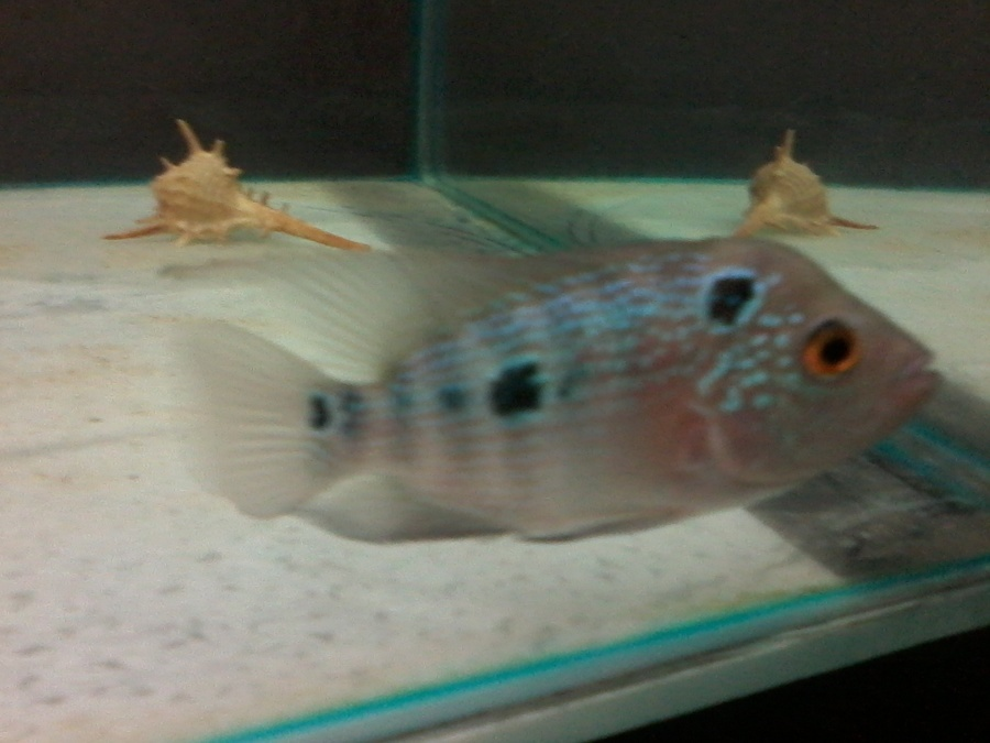 Hey Im Sending U A Pic Of My Baby Flowerhorn Can U Tell Me ...