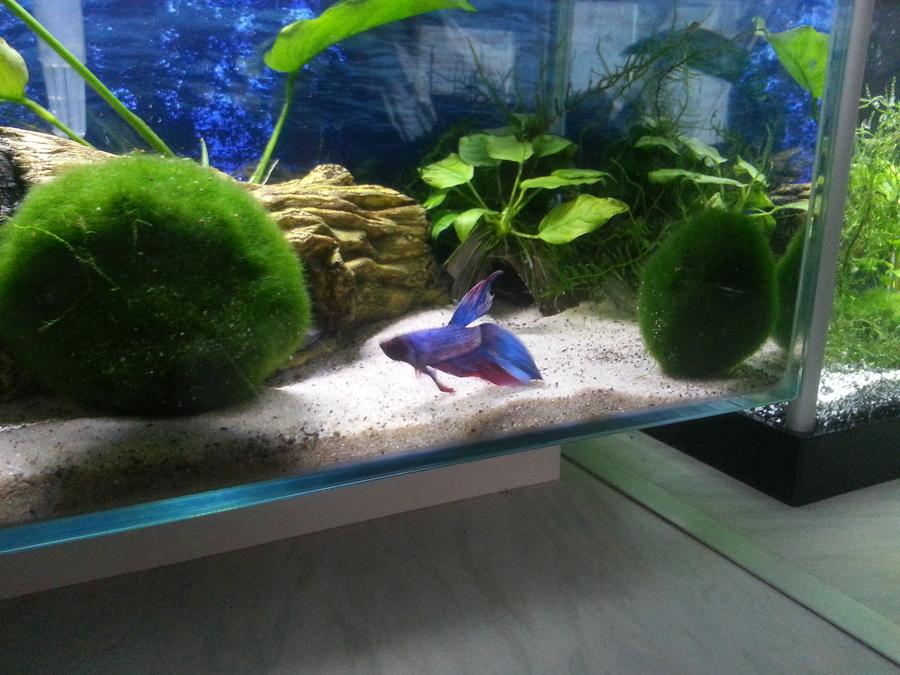 Want More Moss A Guide To Propagating Moss Balls My Aquarium