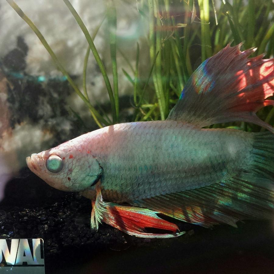 Betta Forum | My Aquarium Club