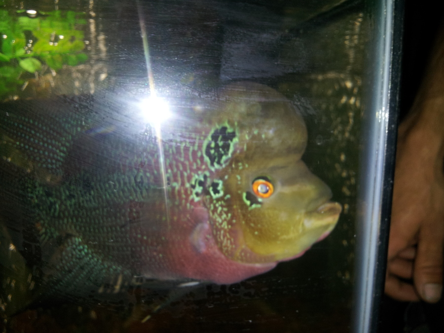 Flowerhorn Sale | My Aquarium Club