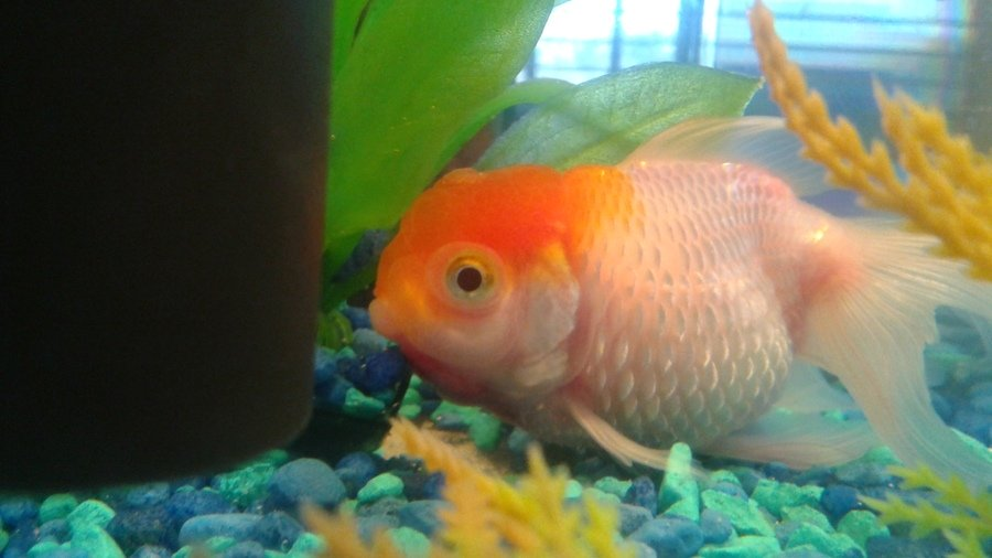 Help    My Gold Fish Have Dropsy  I Have Treated With
