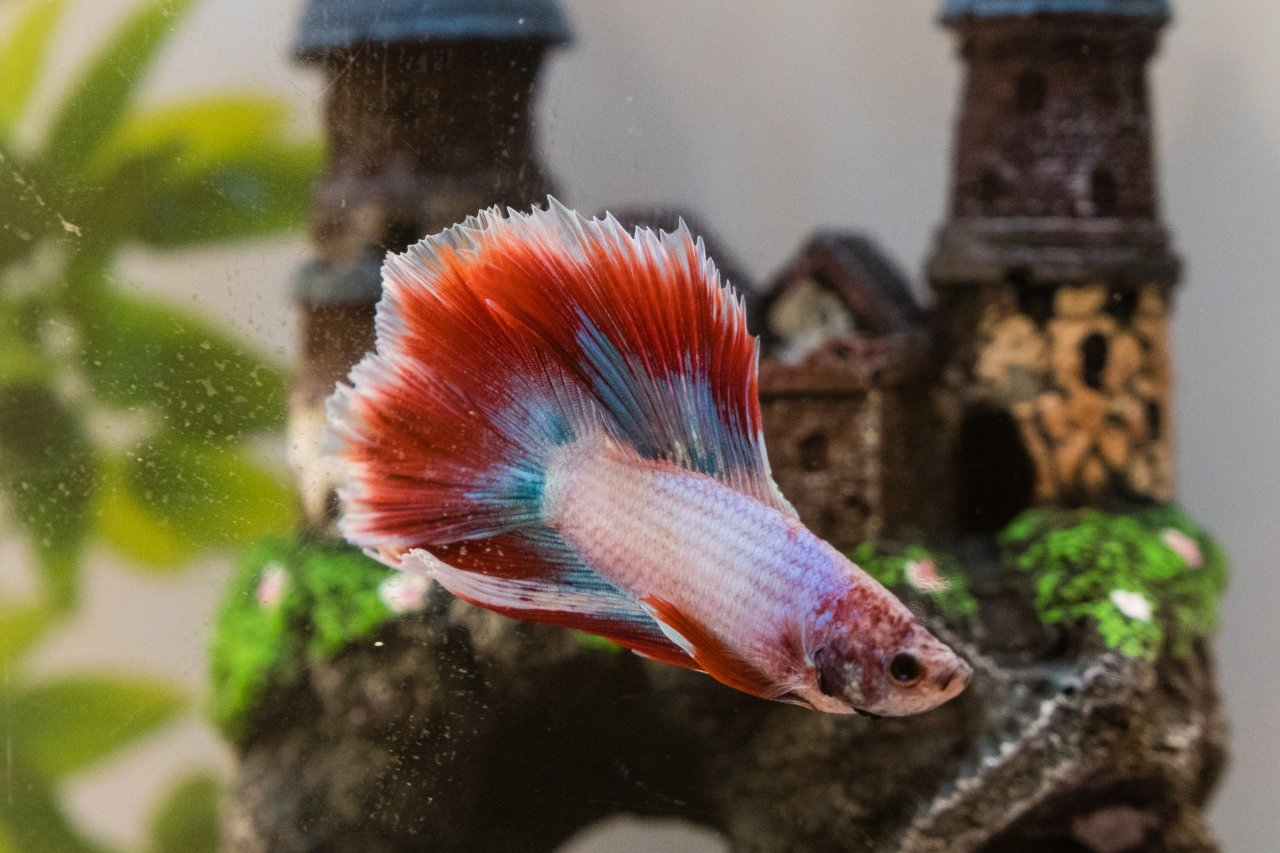 I Have Had A Double Tail Betta For About 2 Weeks Now. In The Last ...