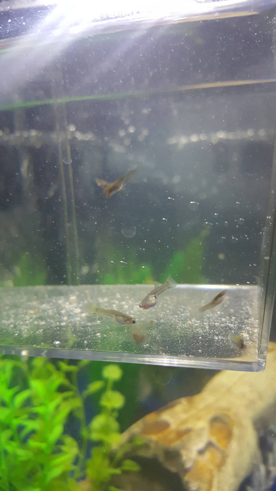 My guppy had fry that are now 4 weeks and 2 days old some are when is it safe to put the larger ones in the community tank i have 4 adult guppies1 mediumsmall angel fishand 1 tetra nvjuhfo Images