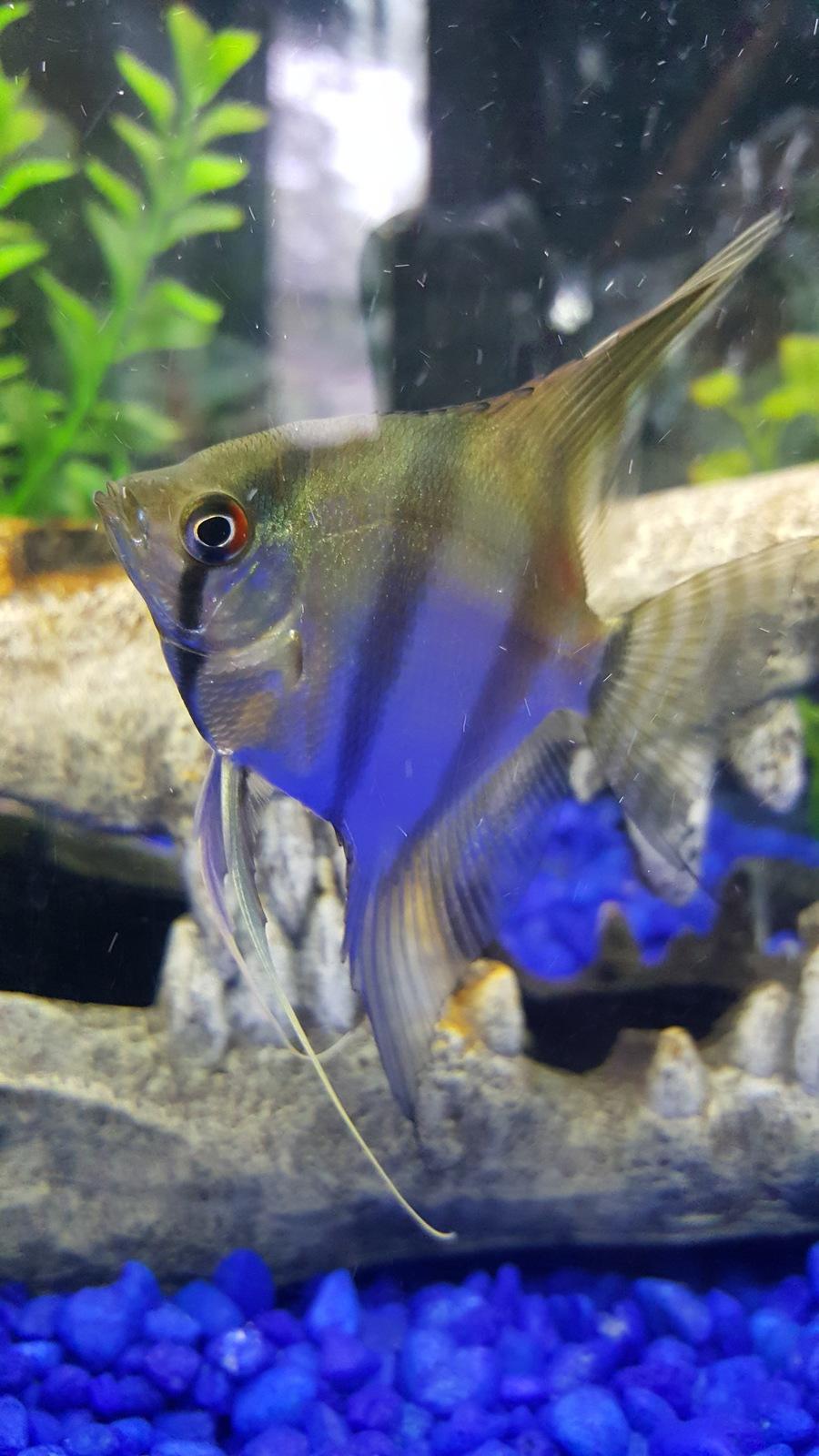 Male Or Female Angel Fish  My Aquarium Club-9766