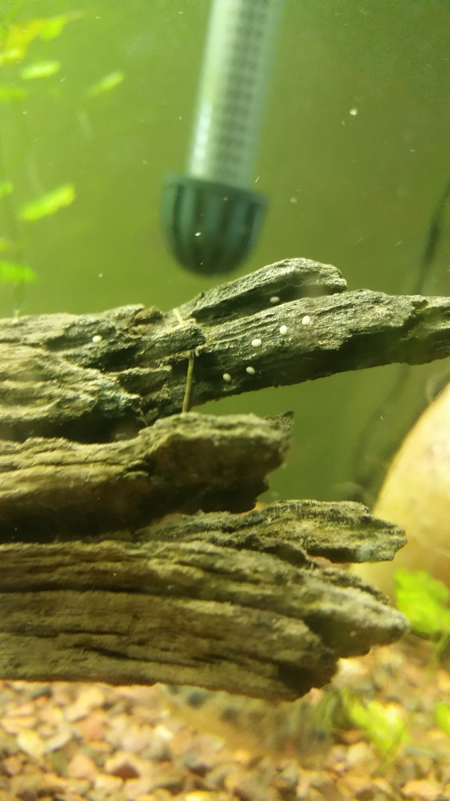 Weird White Spots On Driftwood And Plant