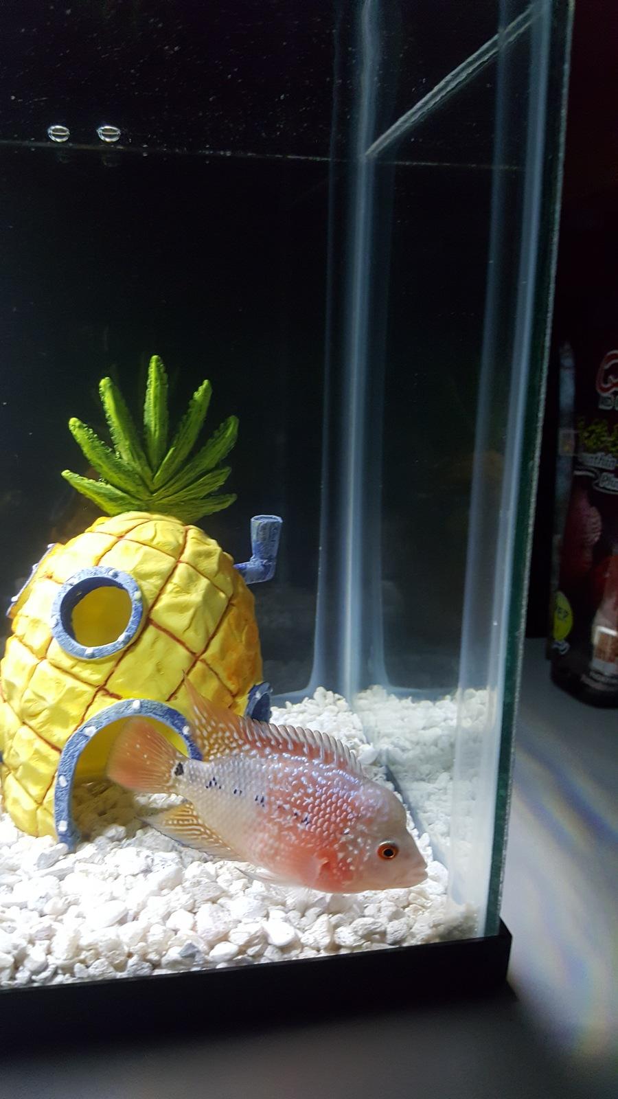 Flowerhorn Fish 2 And A Half Inch Size | My Aquarium Club