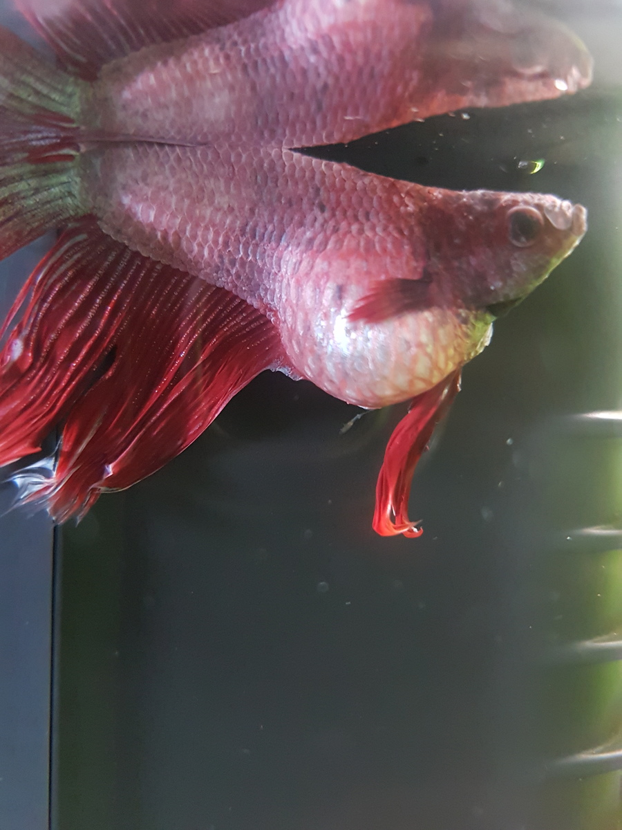 Bloated Betta Photos >> Severely Bloated Betta I Ve Tried Everything ...