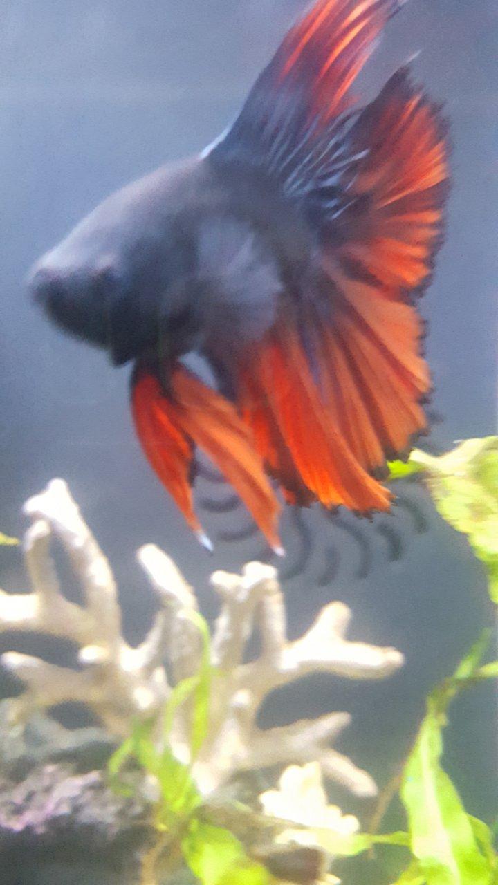 Betta Scales Floating In The Tank | My Aquarium Club