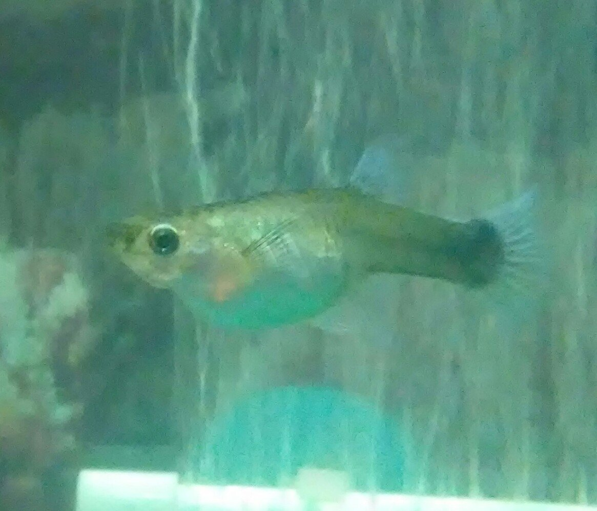 Can anyone tell me about how far along my pregnant guppy is my can anyone tell me about how far along my pregnant guppy is nvjuhfo Images