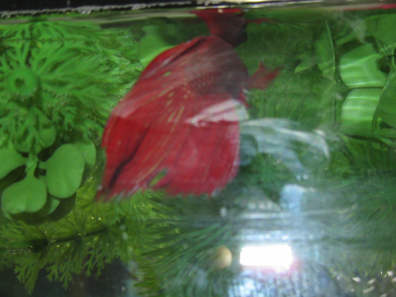 Betta Fin Rot Won\'t Get Better | My Aquarium Club
