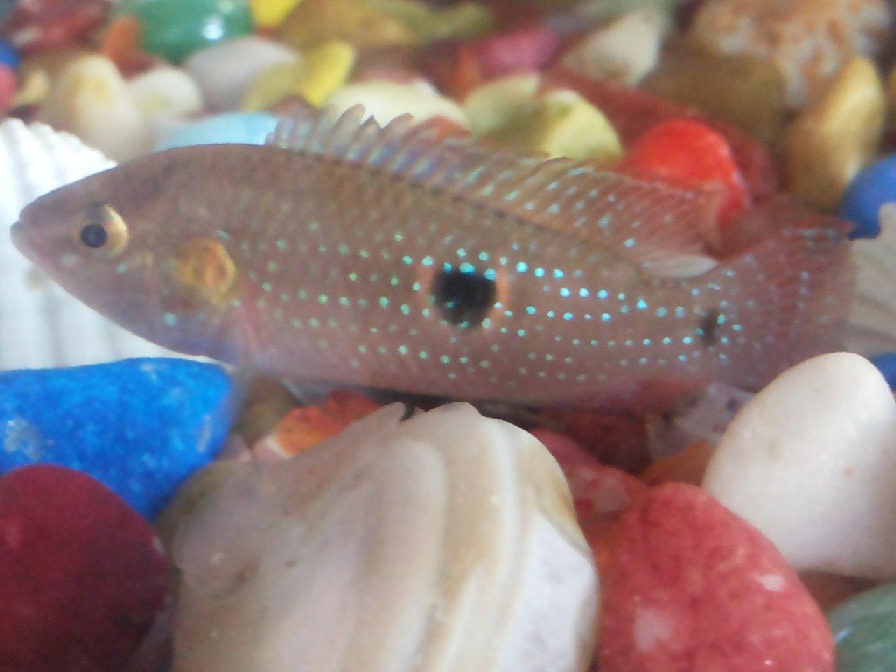 Problem To Understand Male Or Female Jewel Cichlids | My ...