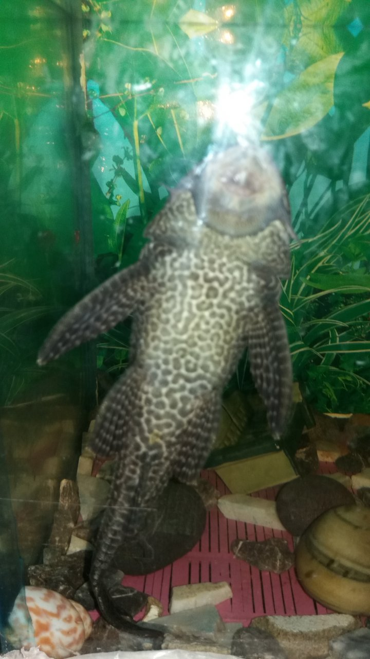 Please Can Anyone Tell Me This Pleco Fish Is A Male Or A -8660