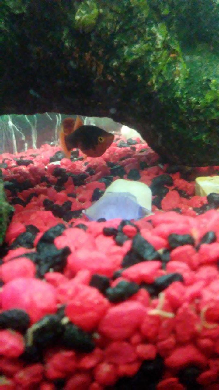 Preganate? Or No? | My Aquarium Club