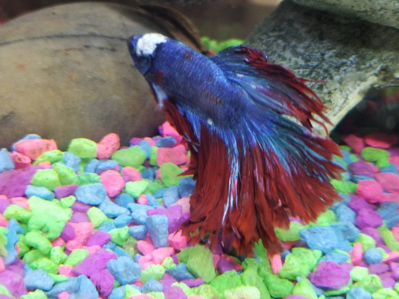 Betta Sick - Fungus Or Ick - Help | My Aquarium Club