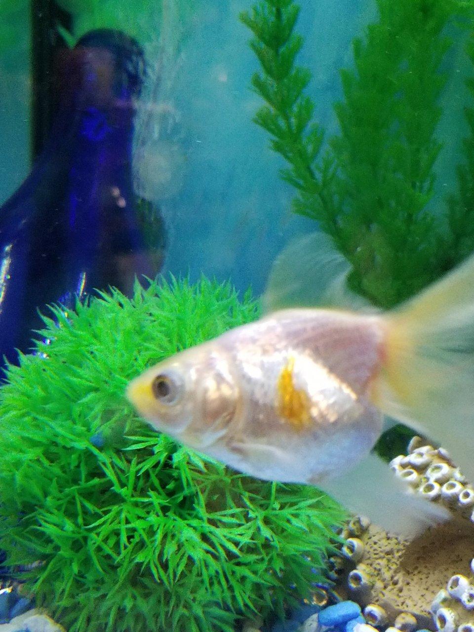 Goldfish Color Change | My Aquarium Club