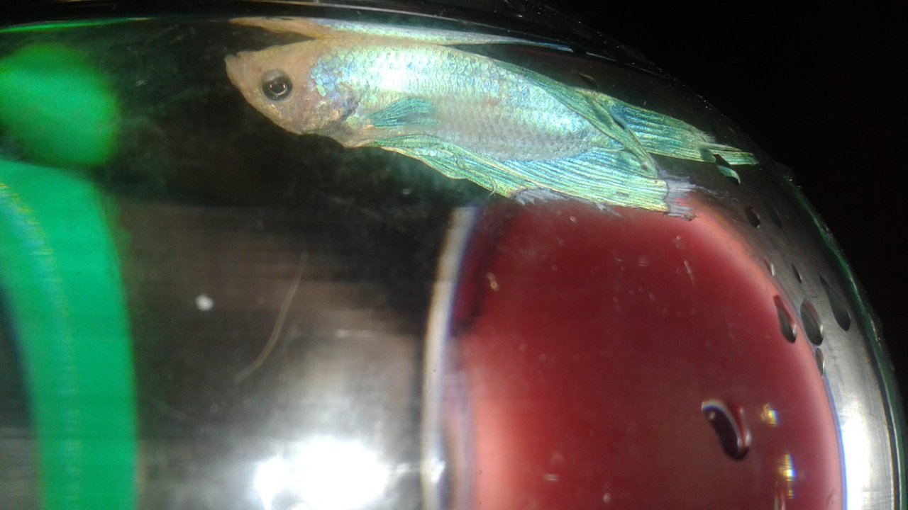 Help My Betta Won\'t Eat , So It\'s Been Maybe Like A Week Since I\'ve ...