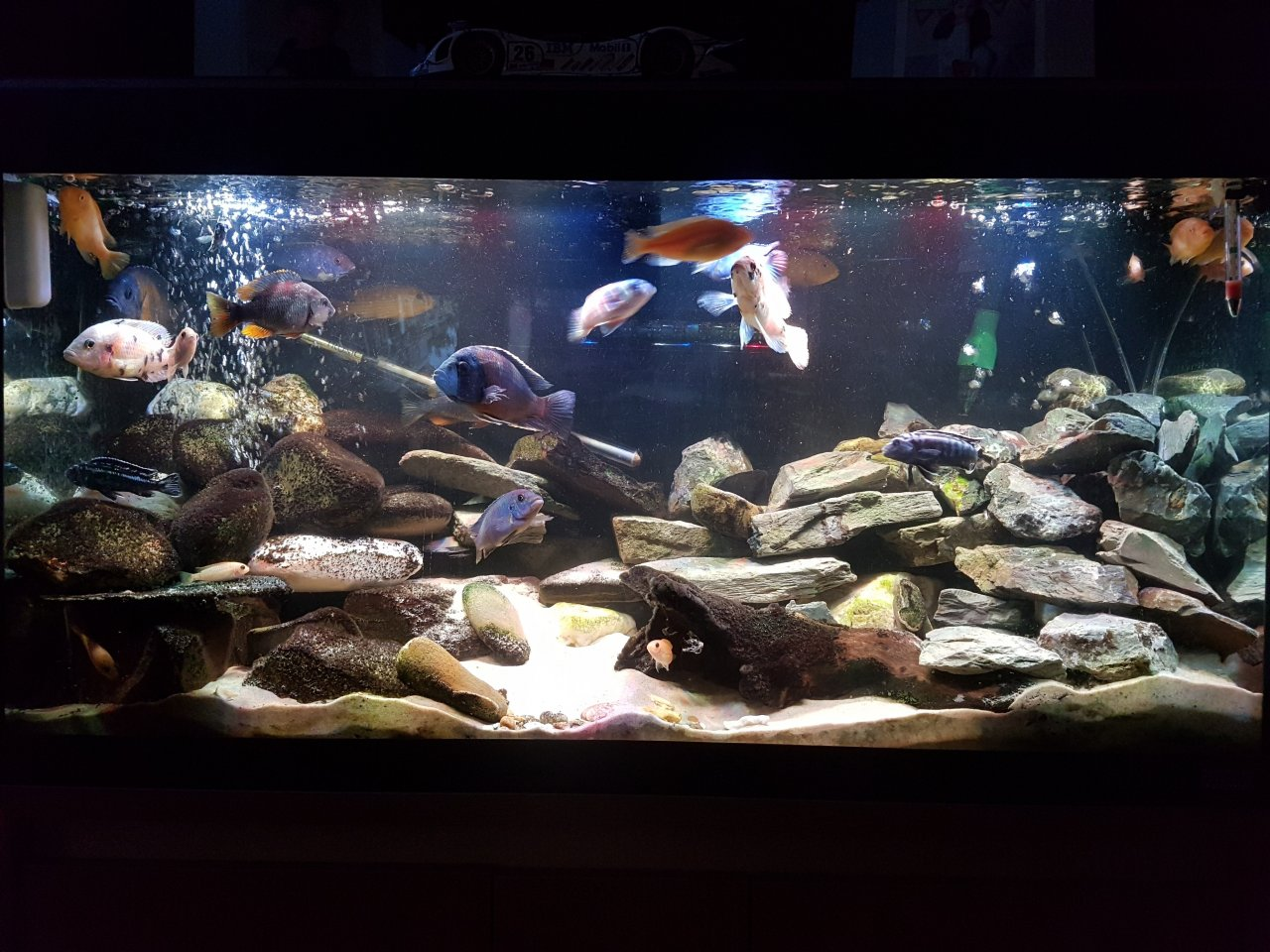 How Many African Cichlids For 55 Gallons My Aquarium Club