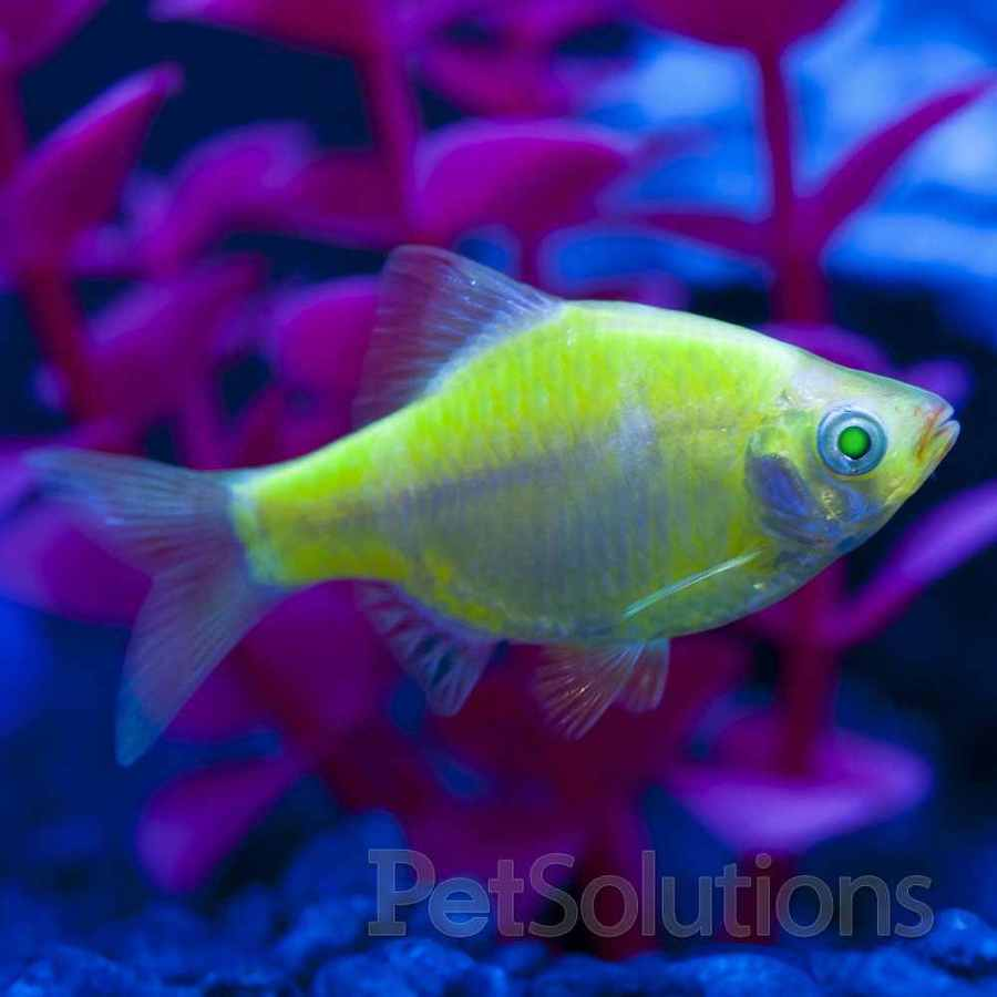 My Green Glo Fish Seems To Be Aggressive, I Was Wondering ...