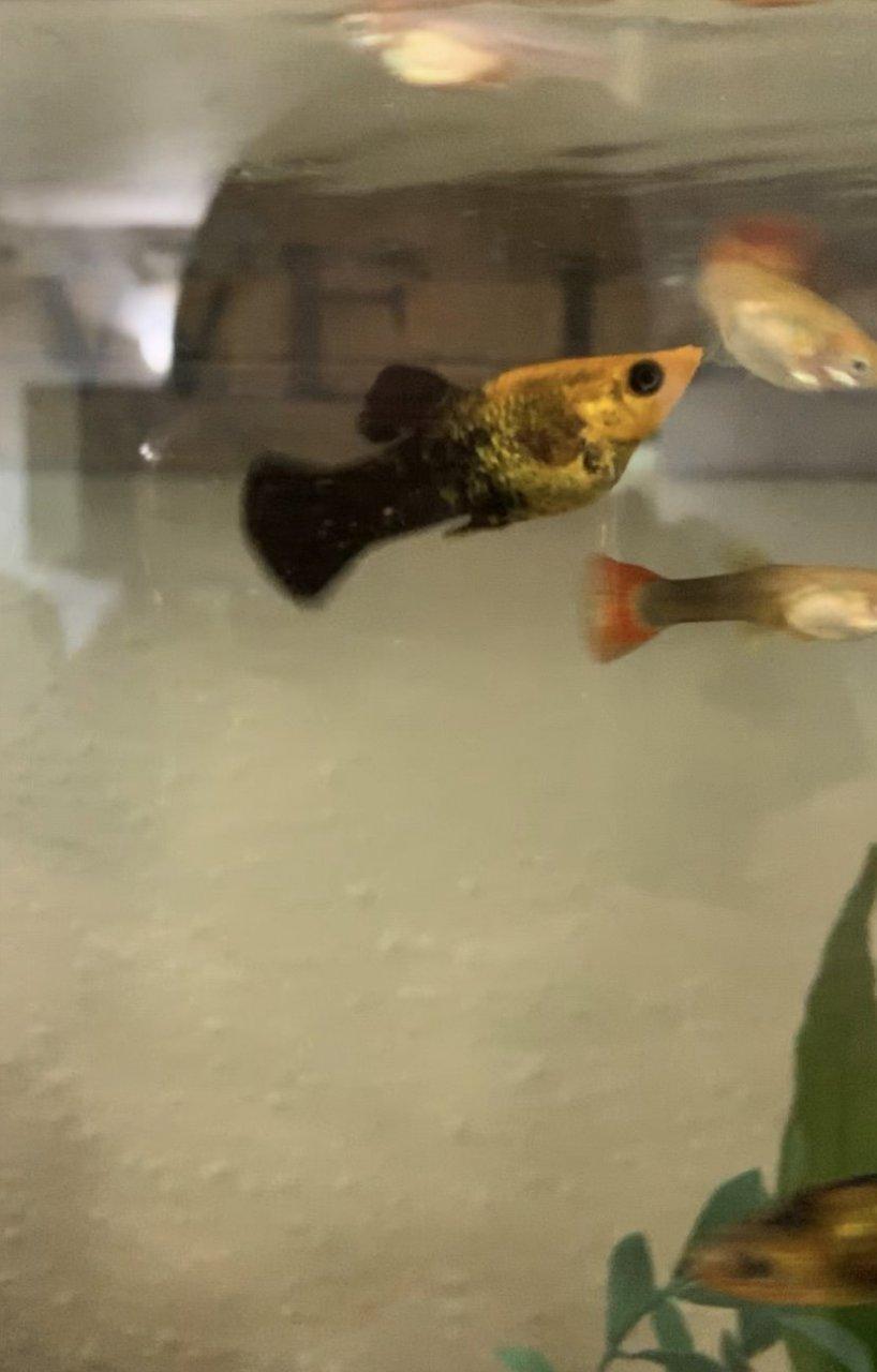 Is My Molly Pregnant?! HELLPP! | My Aquarium Club