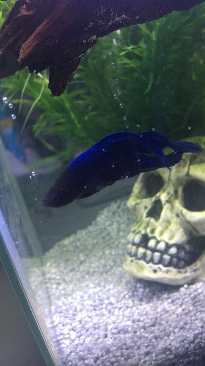My Betta Is Sick HELP!!! | My Aquarium Club