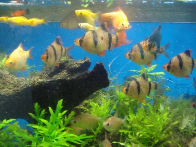 Huge Freshwater Tank Fish