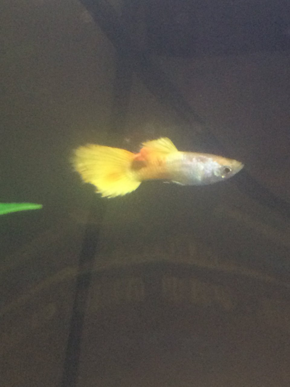 Growth on my guppy my aquarium club growth on my guppy nvjuhfo Images