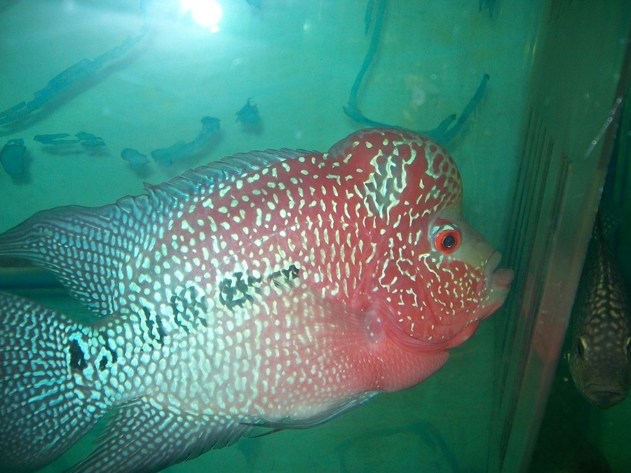 I Want To Sell My 2 Flowerhorn Fish - Kolkata | My Aquarium Club