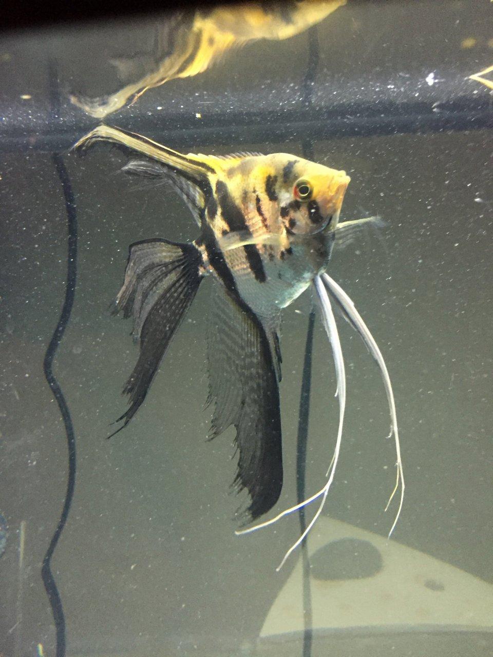 Black Clown Veil Or Marble Veil Angelfish My Aquarium Club