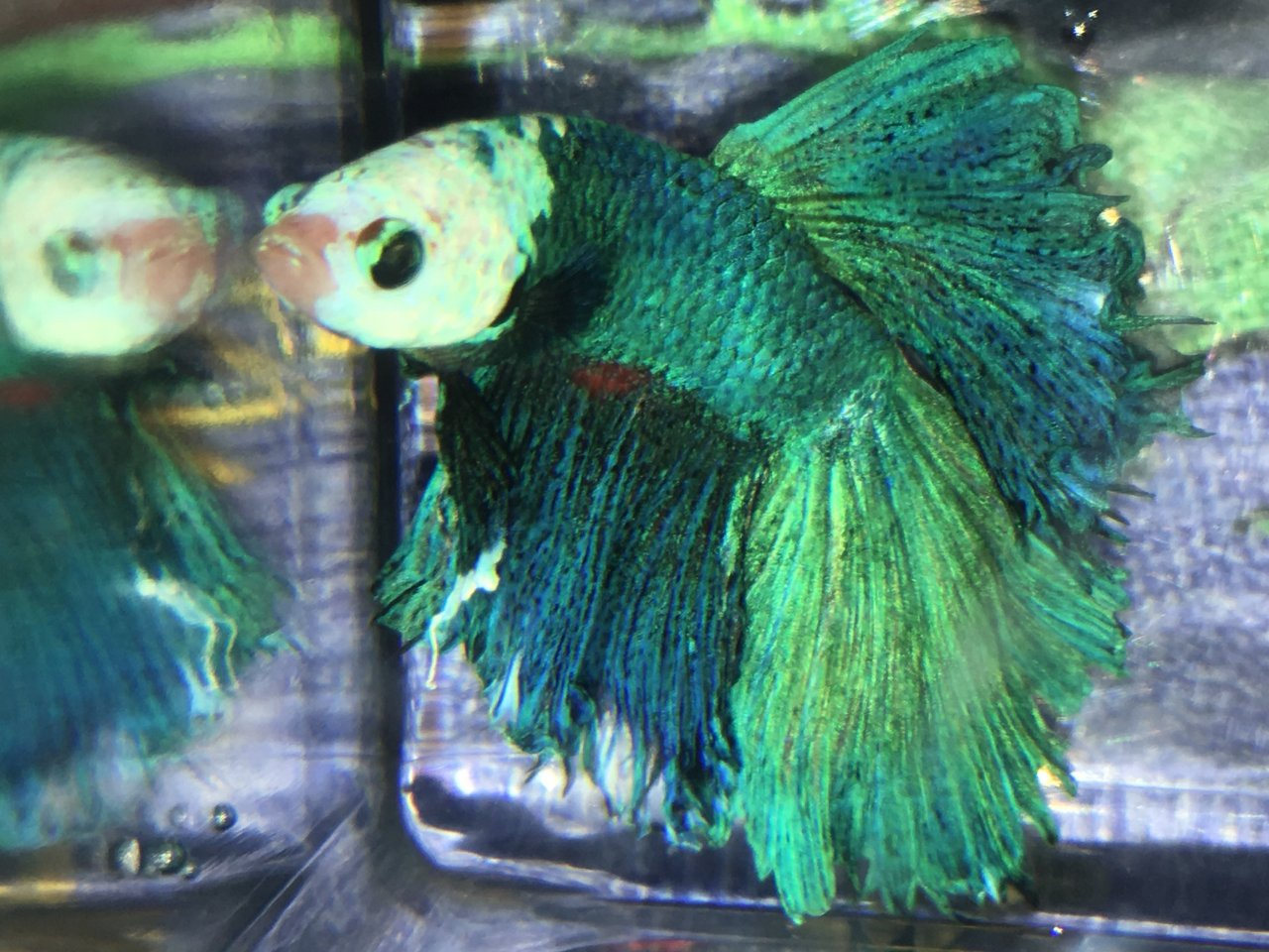 Extremely Lethargic Betta Fish, Face Changing Colour | My Aquarium Club