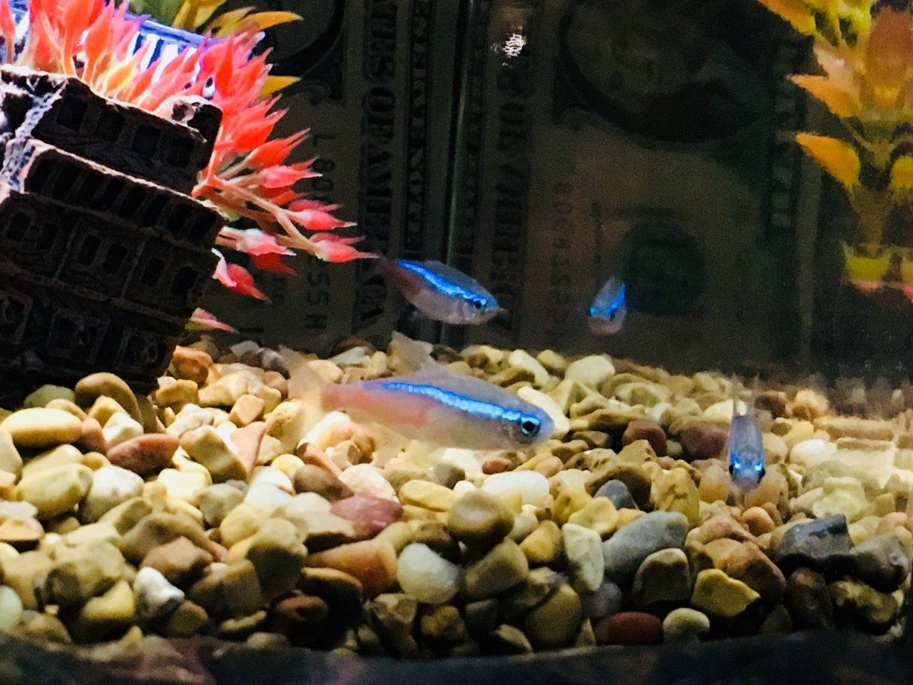 Tetra Fish Male Or Female