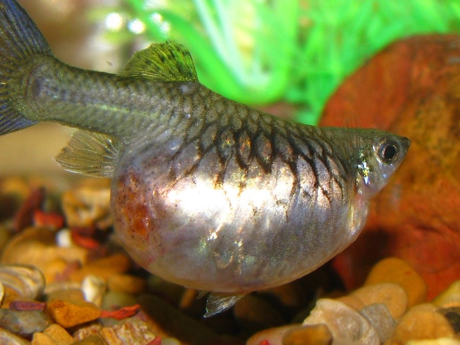 Help severely bloated guppy what is it what can i do for How long is a guppy fish pregnant