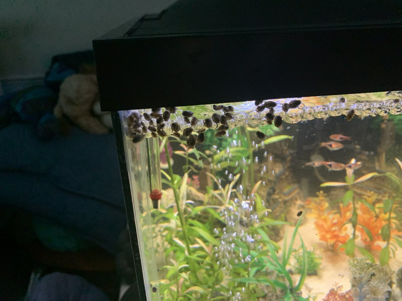Here Are Some Pics Of My Pond Snail Infestation!!!   My ...