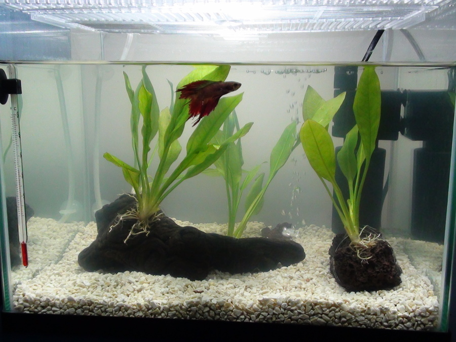 I Have A Betta 5 Gallon Planted Aquarium With A Small
