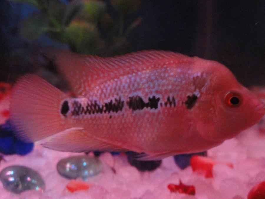 Flowerhorn Fish Male Or Female  My Aquarium Club-3008